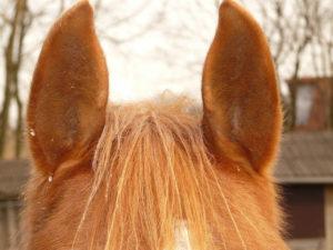 pferdeohren in der  pferdesprache