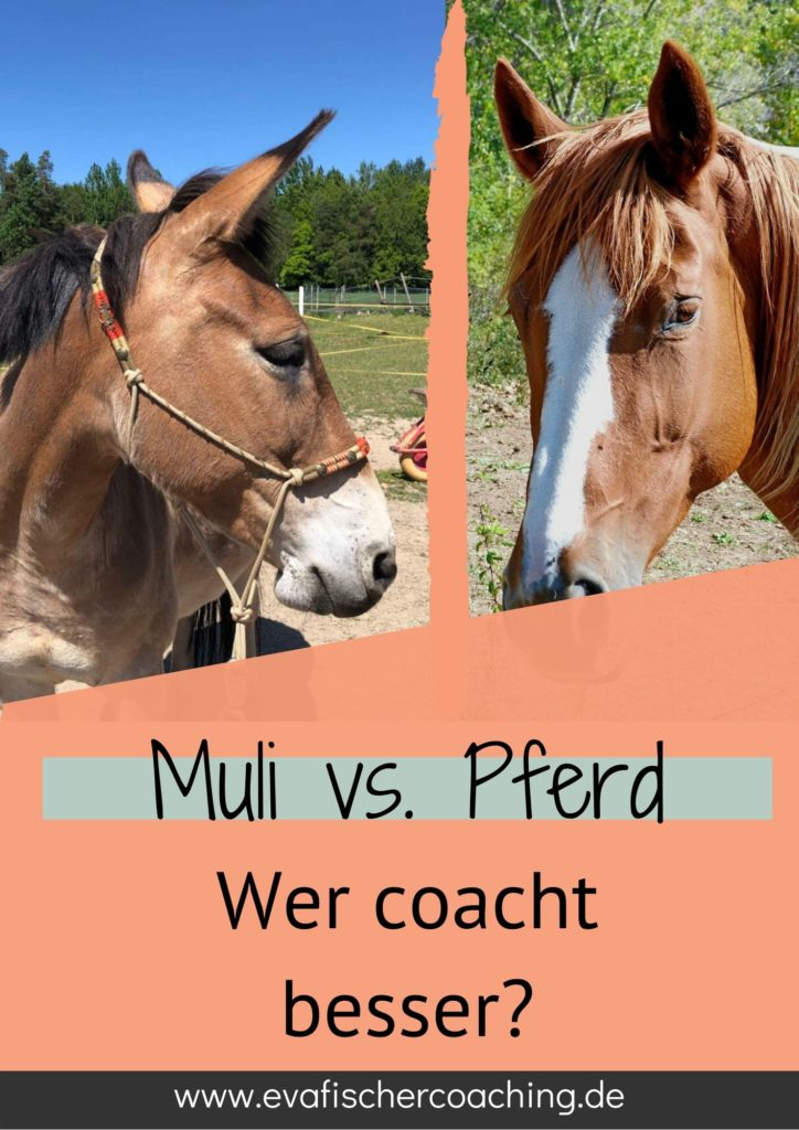 Muli vs. Pferd - wer coacht besser