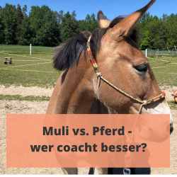 pferdegestuetztes coaching mit muli